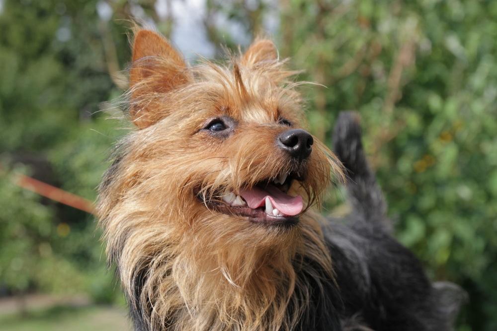 Le Terrier Australien /caractéristiques Australian-terrier4
