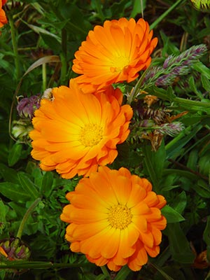Marigolds-Good or Bad? Calendula