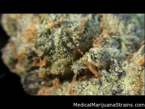 LEARN WHICH STRAIN OF MARIJUANA TREATS WHICH MEDICAL CONDITION HERE Img_3889_girl-scout-cookies-medical-marijuana-strain-review