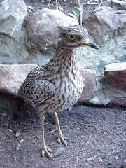 صور طائر الكروان   Karawan01