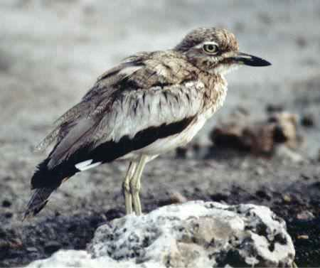 صور طائر الكروان   Karawan04