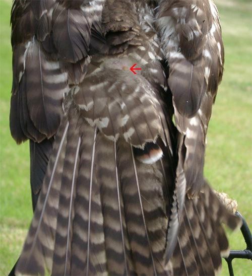 ريش الطيور ما له وما عليه Mk11878_preen_gland