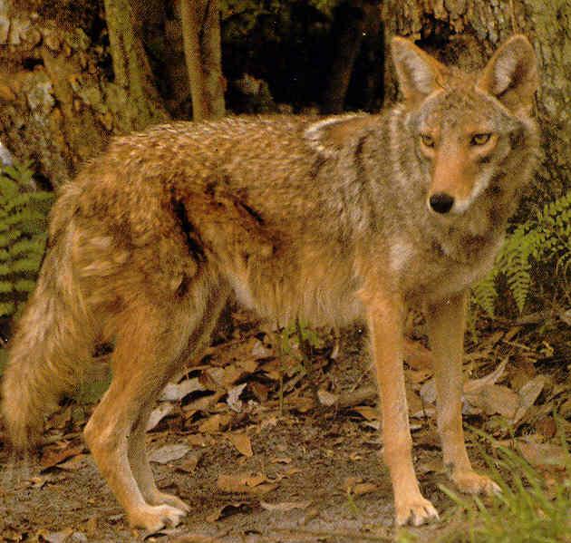الموسوعة الكاملة للكلبيات Wolf%20Eastern%20Canadian