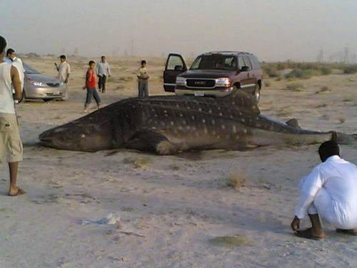 صور لأكبر سمكة قرش تم أصطياده Mk16363_image00700