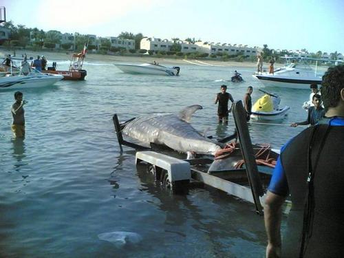 صور لأكبر سمكة قرش تم أصطياده Mk16363_image00900