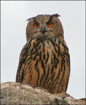 معلومات عجيبة عن الطيور..الجزء الاول Mk42658_bigowl