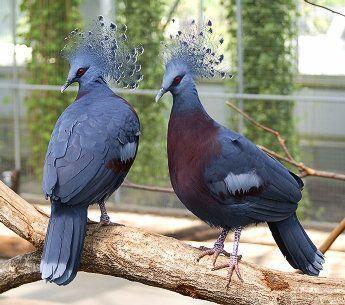 معلومات عجيبة عن الطيور..الجزء الاول Mk42658_bigpijon