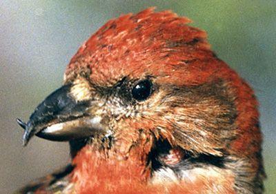 معلومات عجيبة عن الطيور..الجزء الاول Mk42658_crosbill