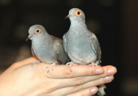 معلومات عجيبة عن الطيور..الجزء الاول Mk42658_demond%20dove