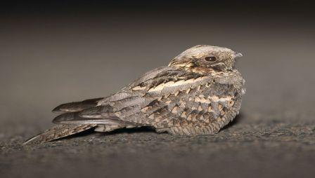 معلومات عجيبة عن الطيور..الجزء الاول Mk42658_nithtjar