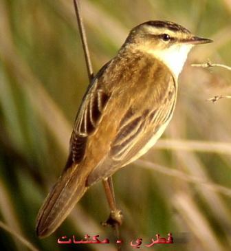 معلومات عجيبة عن الطيور..الجزء الثاني Mk42658_108