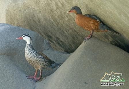 معلومات عجيبة عن الطيور..الجزء الثاني Mk42658_203