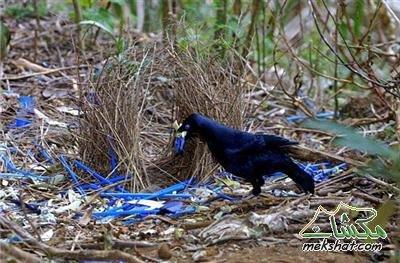 معلومات عجيبة عن الطيور..الجزء الثاني Mk42658_205