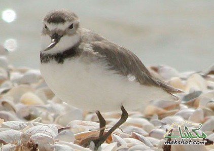 معلومات عجيبة عن الطيور..الجزء الثالث Mk42658_207