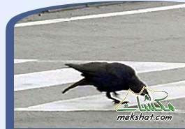 معلومات عجيبة عن الطيور..الجزء الثالث Mk42658_302