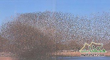 معلومات عجيبة عن الطيور..الجزء الثالث Mk42658_307
