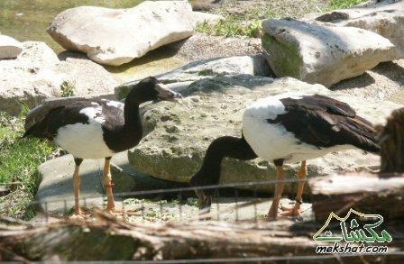 معلومات عجيبة عن الطيور..الجزء الثالث Mk42658_45