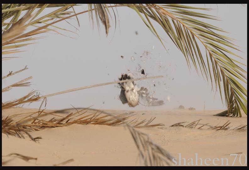 احتراف صيد وتصوير القمري Mk101994_10x