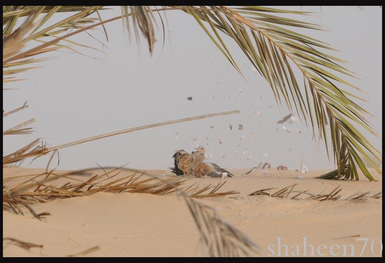 احتراف صيد وتصوير القمري Mk101994_11x