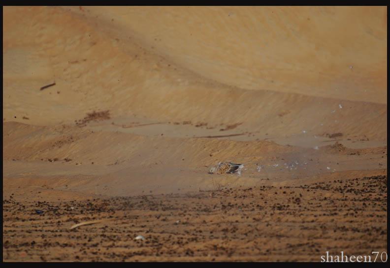 احتراف صيد وتصوير القمري Mk101994_36x