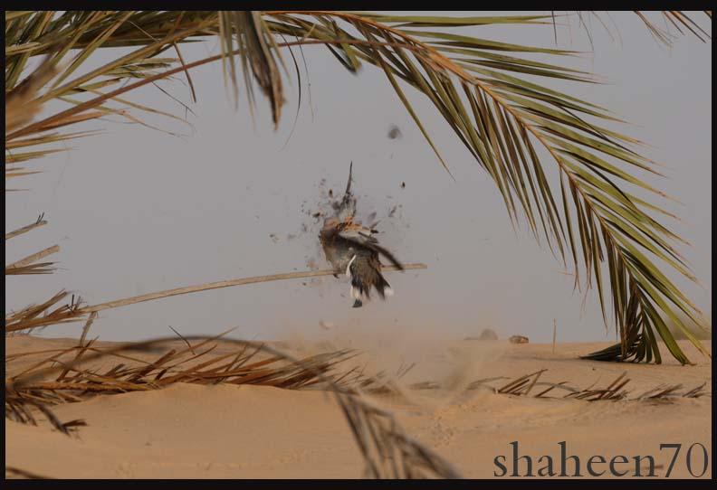 احتراف صيد وتصوير القمري Mk101994_9x