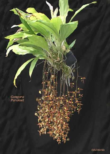 Soins pour orchidées (phalaenopsis, paphiopedilum) Gongora_parakeet_plant