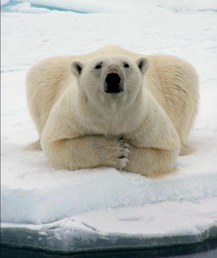 Les images du jour - Page 3 Ours-polaire