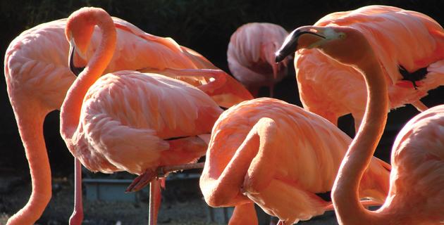 CACHORROS Y ANIMALES Flamenco-rosa-yucatan