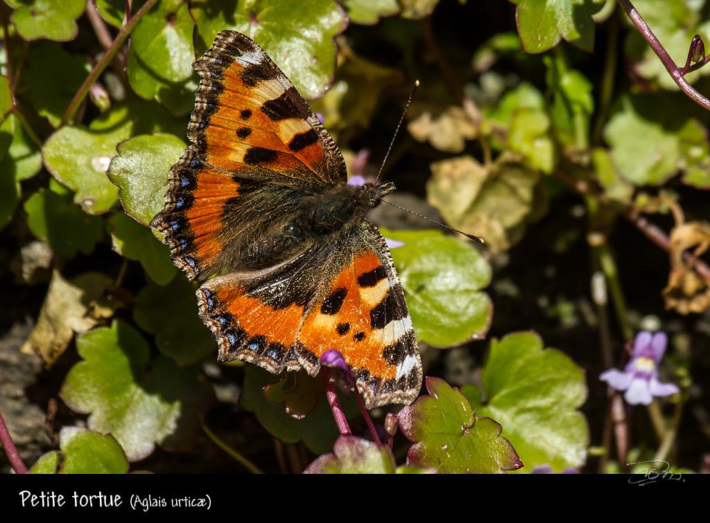 papillons précoces Petite-tortue_9396