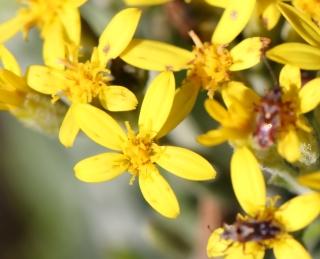 la fleur de Martin du 13 juin trouvée par Martine - Page 3 Hubertia_tomentosa_bory_01