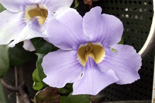 une fleur - blucat- 8 août trouvée par martine Liane_de_chine_02