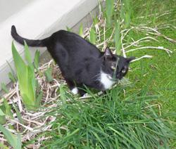 Aliments, plantes et produits dangereux pour chiens et chats Chat-mangeant-des-plantes