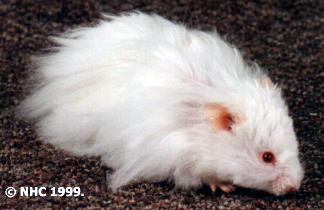 انواع الهامستر بالصور Albino