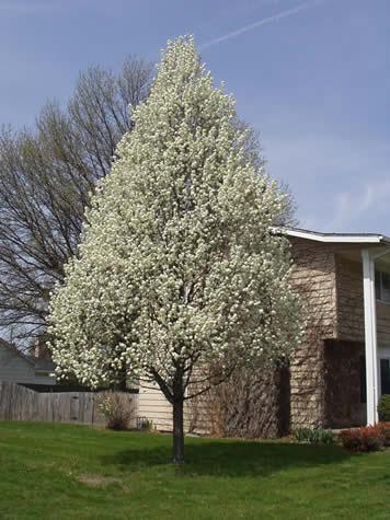 شجرة الكازوارينا PyrusCalleranaGlensForm02S