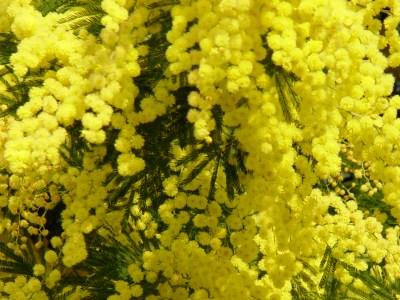 Bojim žutom Mimosa