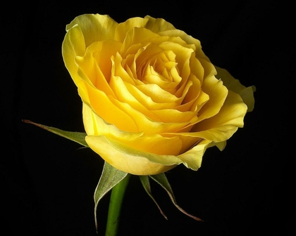 YELLOW ROSE FOR TEXAS – The Lie NASA Told – The Imminent Demise of the NWO … Q&A Flowers%20roses%20black%20background%20yellow%20rose%20yellow%20flowers%201280x1024%20wallpaper_www.miscellaneoushi.com_50