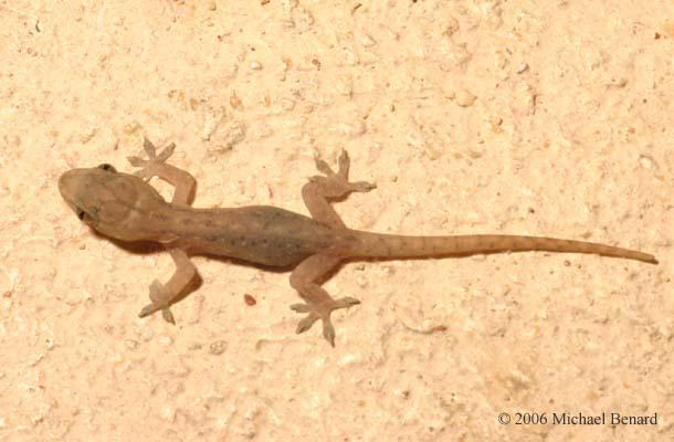 Please ID this lizard Hemidactylus_frenatus_SIG