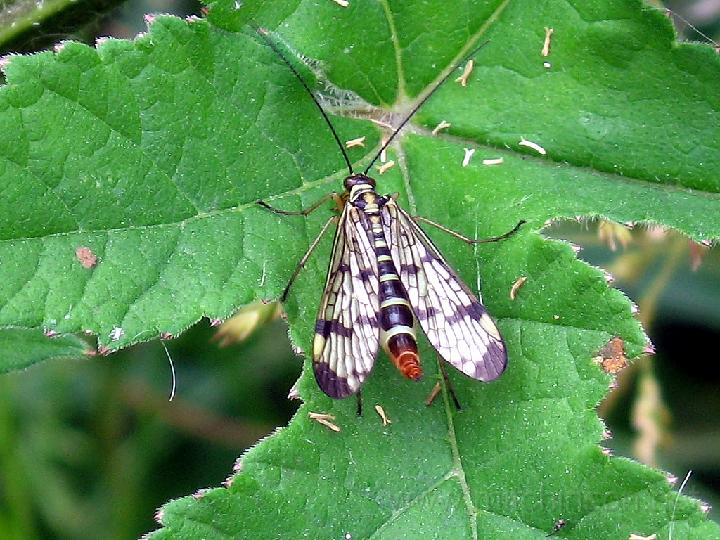ذبابة العقرب ........ Scorpion%20fly