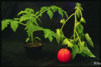 Etylen được sinh ra ở đâu? Ảnh hưởng của Etylen đến hoa quả Img0054
