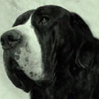Old Istrian Boarhound Ajf