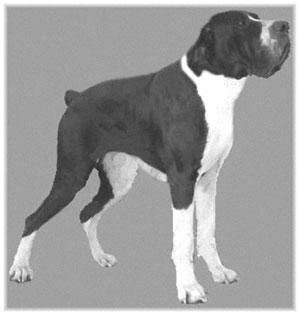Old Istrian Boarhound Ajg