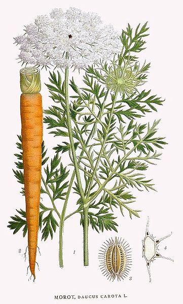 l'image énigme par  blucat (15juillet) trouvée par sylvie - Page 2 Planche-carotte