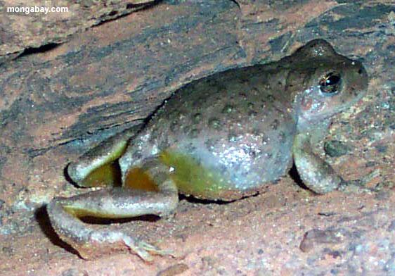 Žabe 0619_elves_frog_0