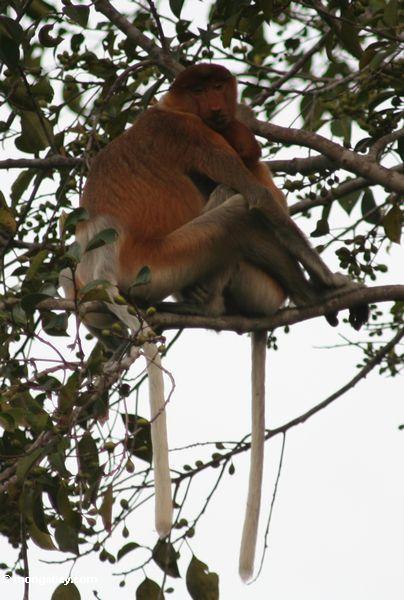 Majmuni Kali9919