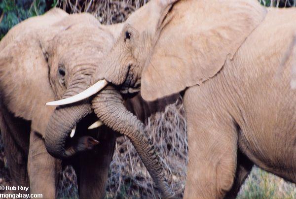Slonovi Elephant_003