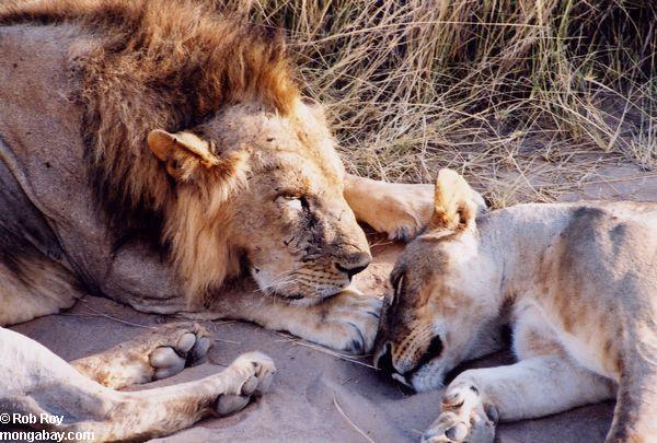 Lavovi Lion_05