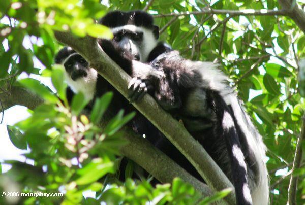 Majmuni Ug3-3575