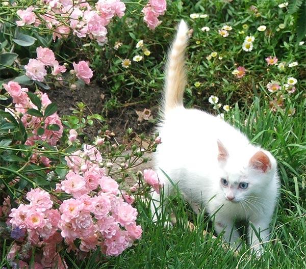 مجلد كامل لهواة تربيه القطط (اسئله+حلول+نصائح.. ألخ) Kitten-whte-pink-rose