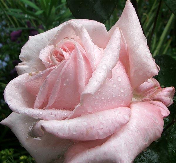 Trendafila - Faqe 2 Rose-tea-hybrid
