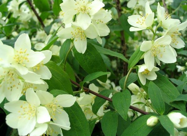 Праздник сирени - Страница 2 Philadelphus-flower